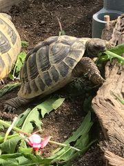 Suche Landschildkröte Testudo Hercegovinensis Weibchen