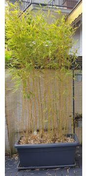 Bambus im Kübel