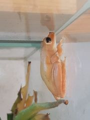 Weissbart-Ruderfrosch Jungtiere Polypedates leucomystax