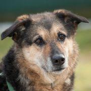 Gretchen 8 Jahre - Schäferhund-Mix - Tierhilfe