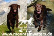 Reinrassige Labrador Retriever Welpen schokobraun