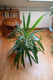 Yucca-Palme 105 cm hoch