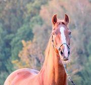 Reitbeteiligung für unsere Pferde und