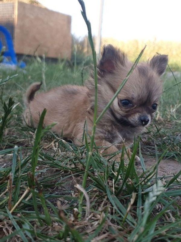 MINI Chihuahua Welpe nur noch