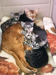 Bengal Kätzchen Kitten Ragdoll-Abessinier Kitten