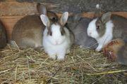 Kaninchen Zwergkaninchen Farbenzwerge Löwchen