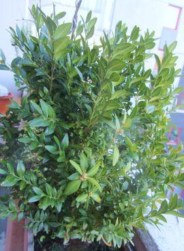 Stockrosen Farn Buxus Campanula Glockenblumen: Kleinanzeigen aus München Schwabing - Rubrik Pflanzen