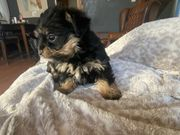 Yorkshire Chihuahua mix Welpen