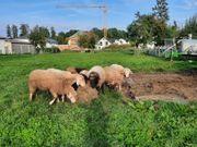 Schafe tragend zu verkaufen