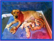 Labradorwelpen Labrador Welpen mit Ahnentafel