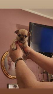 Wunderschöner Chihuahua Rüde in Sable
