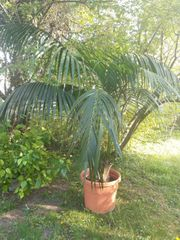 Wunderschöne große Kentia-Palme