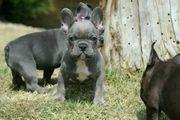 Wunderschöne Blaue Französische Bulldoggen Welpen