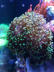 Euphyllia Paradivisa Korallen Korallenableger Meerwasser