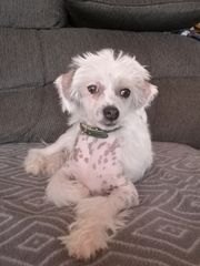 Chinese Crested Welpe Rüde