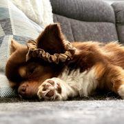 Kleiner Chihuahua Deckrüde mit Ahnentafel