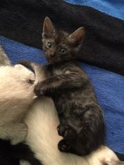 Siam Maine coone Kitten