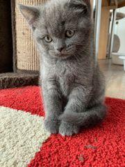 BKH Kitten blue Britisch Kurzhaar