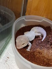 Knuffiger Leopardgecko sucht neues Zuhause