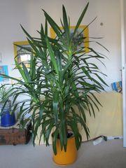 Yucca-Palme 4 Triebe 180 cm