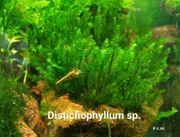 Distichophyllum sp Moss Rarität