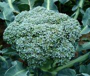 Set23 Broccoli - Ramoso calabrese Inhalt