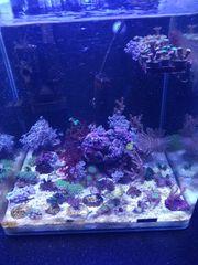 Korallenableger Korallen Meerwasser Salzwasser