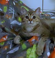 noch 2 BKH kitten W