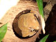Ich biete Correlophus ciliatus 1