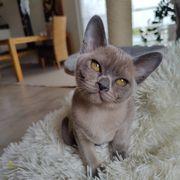 Burma Kitten Deckkater