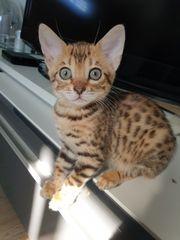 Savannah Bengal mix Kitten