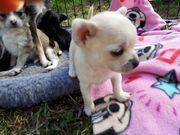 Chihuahua mini Mädel 8 Wochen
