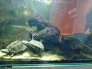 Moschusschildkröten macht mir einfach ein