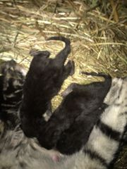Katzen Babys Bestenfalls Kater käufer