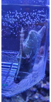 Tangfeilenfisch zu verschenke meerwasser