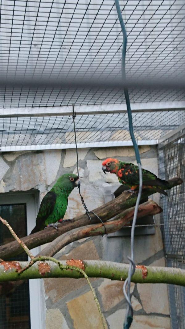 Grünen kongopapagei