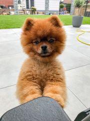 Deckrüde Pomeranian Teddy Boo