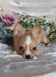 Chihuahuababys mit Ahnentafel suchen ein