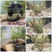 Gelb Grüne Axolotl BD frei