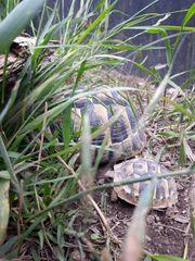 Griechische landschildkröten nz 19