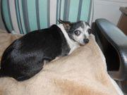 LISA das kleine Chihuahua Mädel