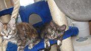2 hübsche Maine Coon Kätzchen
