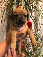 Jack Russel Chihuahua Mix Welpen