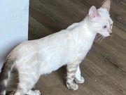 Bengal Mädchen Zuchtfrei Snow Lynx