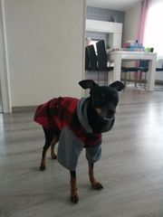 Deckrüde Russkiy Toy Terrier