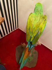 Ara Soldatenara Buffons Macaw Präparat