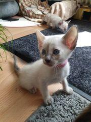 Okh Siam Kitten Katzenbabys