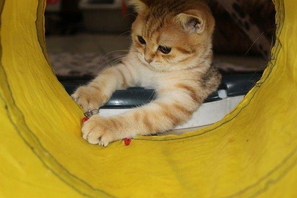 BKH Golden Kitten mit Stammbaum
