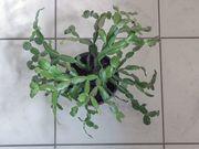 Weihnachtskaktus Zimmerpflanze