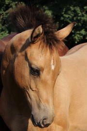 Hübsche Quarter Horse Stute Jährling